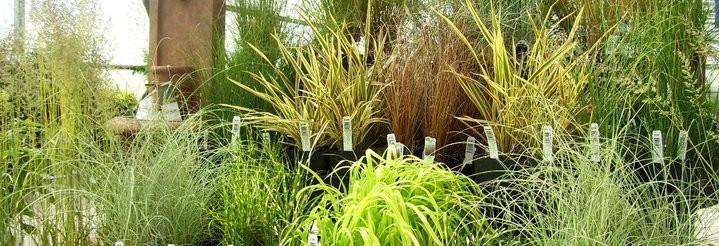 Ornamental grasses eugene johnson brothers greenhouses for Blue ornamental grass varieties