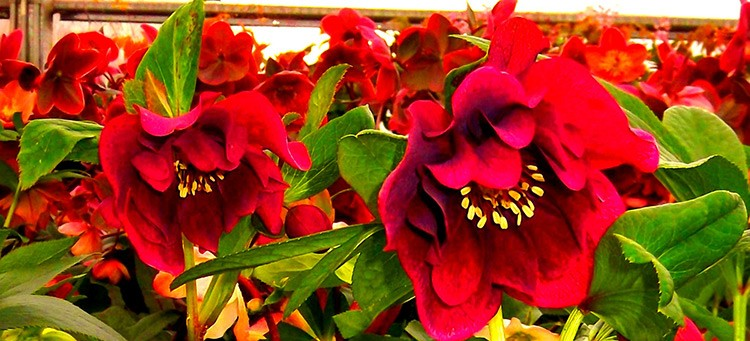 Perennials eugene johnson brothers greenhouses helleborus flower perennial mightylinksfo