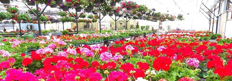 Geranium Annuals Eugene