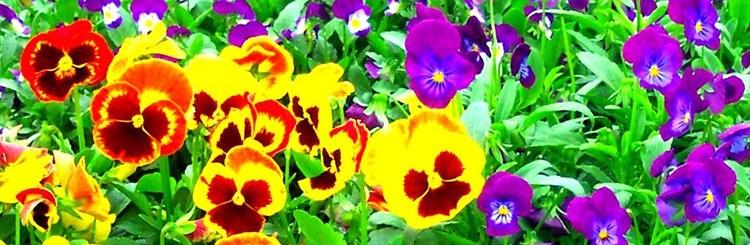 Pansy Viola Flowers