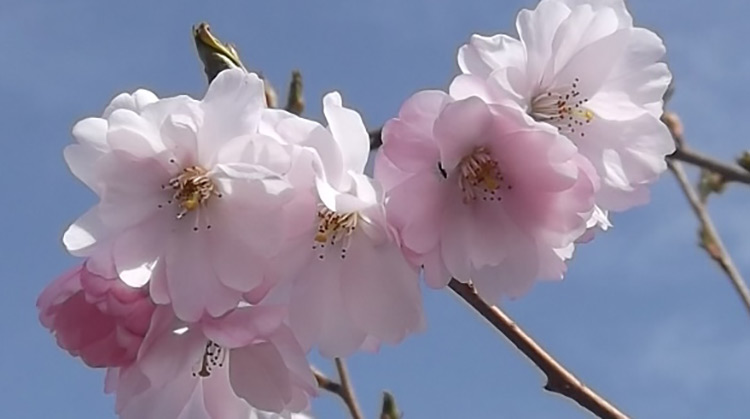 Prunus Accolade Flowering Cherry Tree