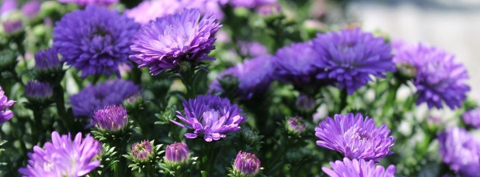 Purple Asters for sale in Eugene Oregon at Johnson Brothers Greenhouses