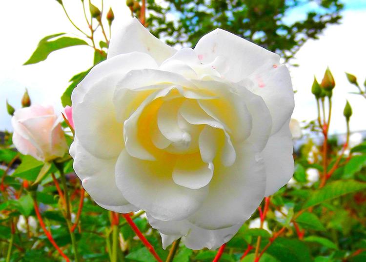 Rose Gardening Iceberg Climbing