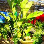 Streilitzia Nicholai House Plant