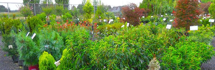 Shrubs Trees for sale