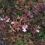 Abelia Edward Goucher Shrub