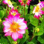 Dahlia Plant For Sale Eugene