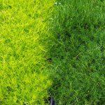 Sagina Subulata Groundcover