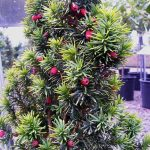 Taxodium Gold Evergreen Tree