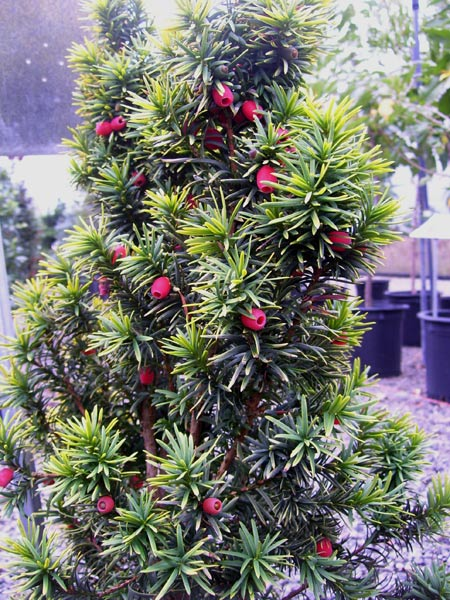 Evergreen Trees For Sale Eugene Johnson Brothers