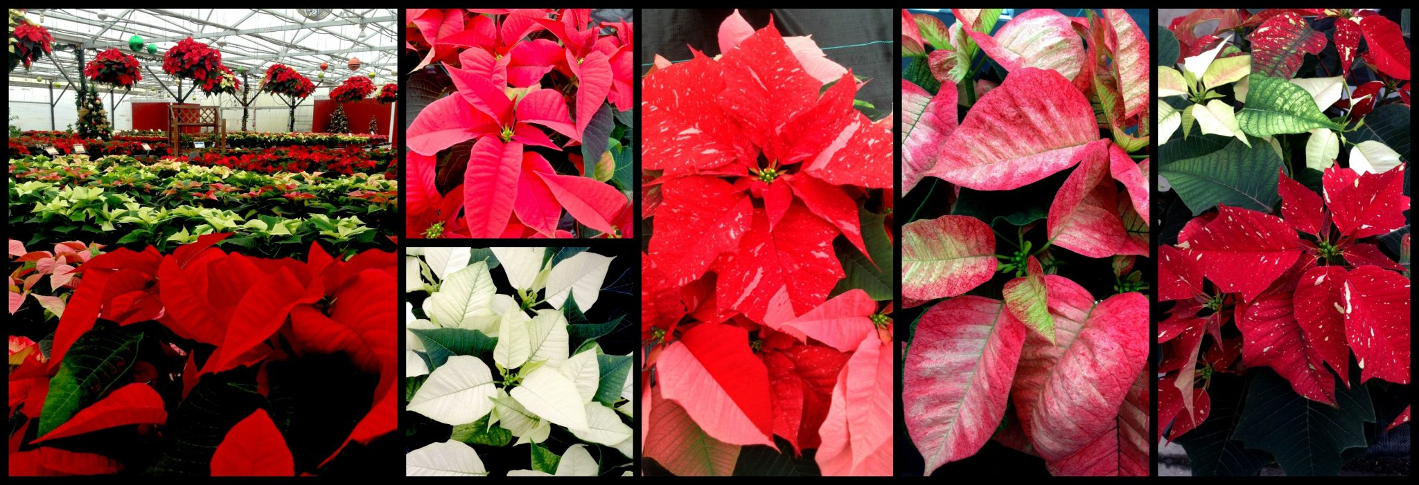 poinsettia collage PM