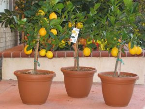 Four Winds Growers - Meyer Lemon