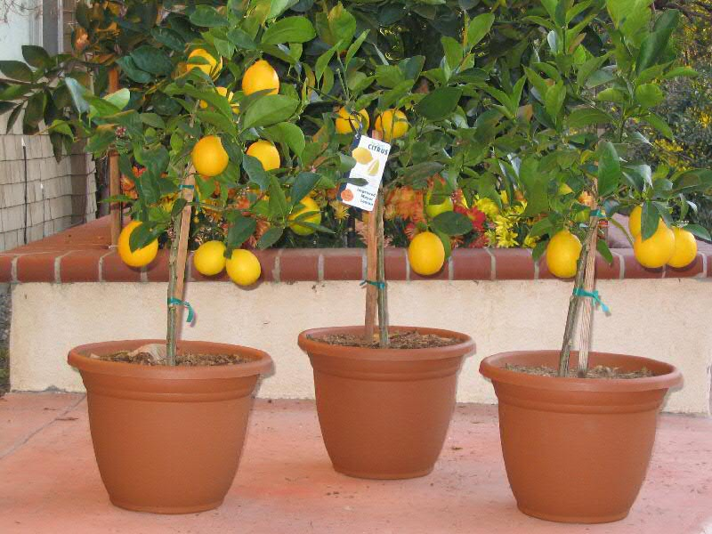 Don T Plant Citrus Trees In The Ground Here Unfortunately We Can Just Water And Walk Away But A Large Pot