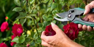 Deadheading red roses with a shear