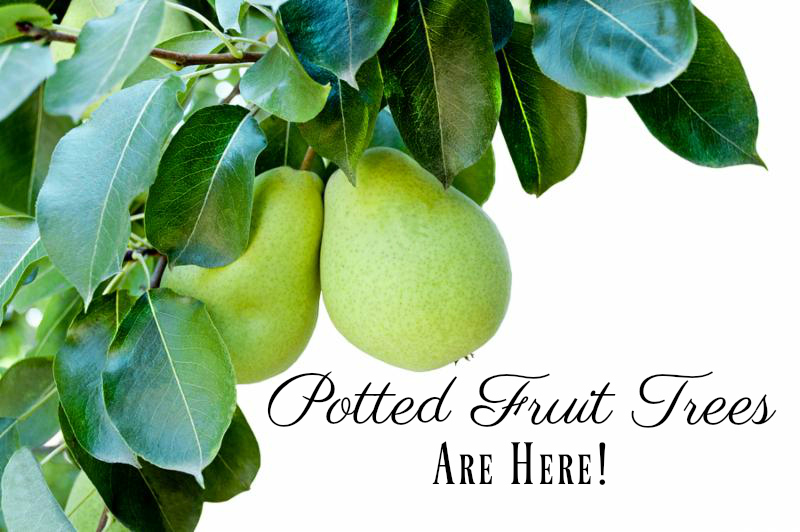 Potted Fruit Trees Are Here Johnson Brothers