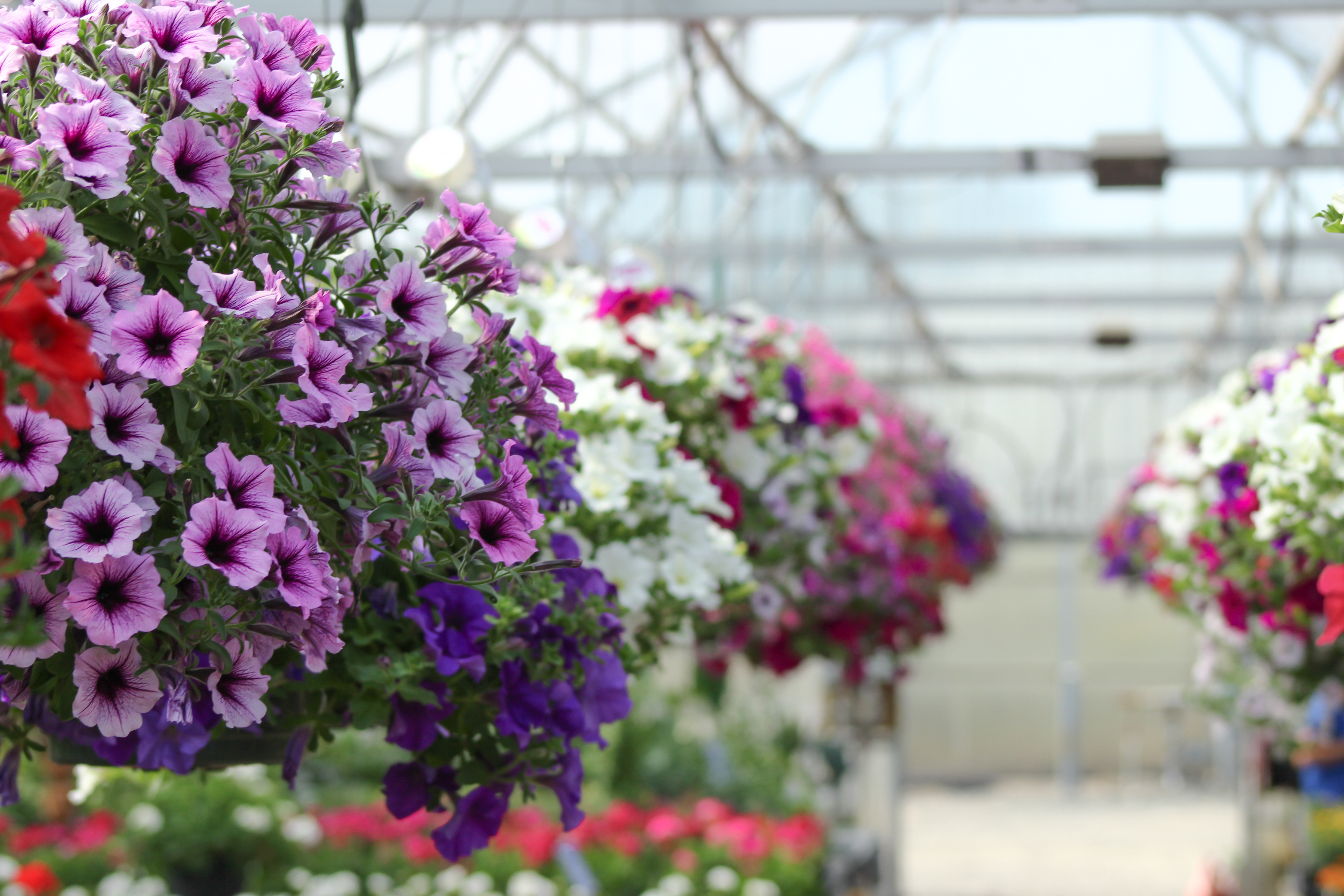 Hanging Baskets Eugene Johnson Brothers Greenhouses